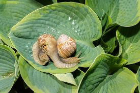 picture of garden snail  - two big snails on a green hosta leafs - JPG