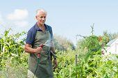 Senior man watering tomato plants in his vegetable garden. Retired gardener watering the garden with poster