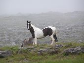 foto of white horse  - a black and white (piebald) horse roaming on a misty irish mountain at