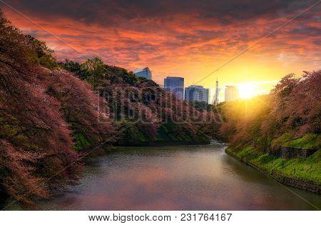 Sakura Cherry Blossom Tree At