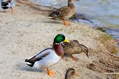 Image Of A Wild Drake And Ducks On The River Bank poster