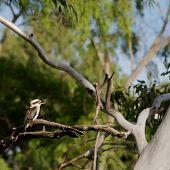 stock photo of kookaburra  - A kookaburra bird sitting on a branch in a forest - JPG