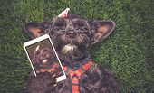 cute terrier laying in the grass during summer taking a selfie toned with a retro vintage instagram  poster
