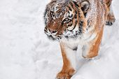 Close Up Portrait Of One Young Male Amur (siberian) Tiger In Fresh White Snow Sunny Winter Day, Look poster
