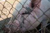 Pig at pig farm in sunny day poster