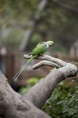 stock photo of java sparrow  - Alexandrine Parakeet  - JPG