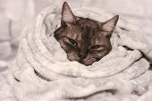 Warming Up On Cold Days. Grey Cute Stripped Cat Wrapped In A Soft Warm Blanket. poster