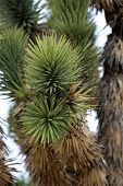 Joshua Tree. Joshua Tree in Death Valley California and Nevada. Joshua Tree in the Mohave Desert of  poster