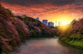 Sakura Cherry Blossom Tree At Kitanomaru Garden, Tokyo, Japan. Sunset Landscape. Tokyo Tower Japan S poster