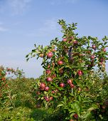 stock photo of apple tree  - Apples on the trees in an apple orchard - JPG