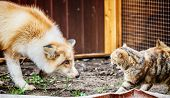Domestic Golden Fox In Conflict With Domestic Cat In Enclosure. Selective Focus. poster