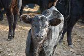 Black Angus Calf, Calf Posing For The Camera, Spring Calf With Shiny Coat poster