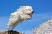 stock photo of jumping  - Havanese jumps between two bales of straw back and forth - JPG