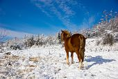 A Red Horse Stands In A Winter Snowy Forest View From The Rear. A Brown And Gold Horse With A Tangle poster