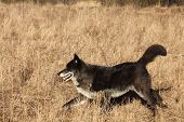 A North American Wolf (canis Lupus) Staying In The Gold Dry Grass In Front Of The Forest. Calm, Blac poster