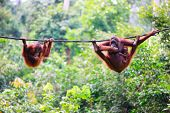 image of orangutan  - Mother - JPG