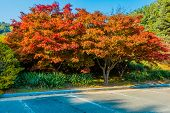 Grove Of Sugar Maple Trees With Leaves In Fall Colors Of Red And Orange Next To Parking Lot With Blu poster