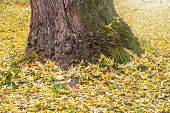 Maple Trunk In Autumn Park With Yellow Leaves On The Ground. Calm Motley Background With Autumn Mapl poster