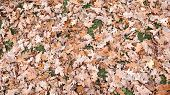 Autumn Maple And Oak Leaves On The Ground. Autumn Maple Leaves From Above. Yellow Leaves Background. poster