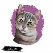 Sokoke Cat Or Sokoke Forest Cat, African Shorthair Natural Breed Of Domestic Cat, Feral Khadzonzo La poster