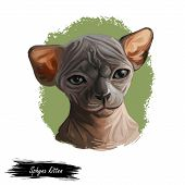 Sphynx Cat Breed Known For Lack Of Coat Fur Isolated. Digital Art Illustration Of Pussy Kitten Portr poster