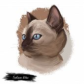 Tonkinese Cat, Male Tonkinese Cat Isolated On White. Domestic Cat Breed, Crossbreeding Between Siame poster