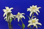 stock photo of edelweiss  - a bouquet of edelweiss on blue background - JPG