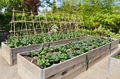 stock photo of leafy  - Raised beds with young vegetables and trellis - JPG