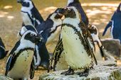Closeup Of A African Penguin With Its Colony In The Background, Flightless Birds From Africa, Endang poster