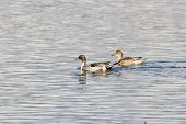 foto of pintail  - Northern Pintail male and female duck bird - JPG