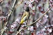 image of bulbul  - Beautiful bird in branches of a blossoming plum - JPG