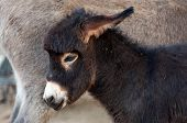 stock photo of horses ass  - Close up portrait of foal baby donkey - JPG