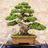stock photo of pinus  - Japanese five needle pine  - JPG