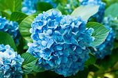 stock photo of hydrangea  - Many blue hydrangea flowers growing in the garden - JPG