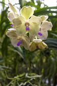 stock photo of angiosperms  - Vandas are fascinating orchids that may be grown with relative ease. Vandas are monopodial.
