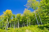 foto of semen  - Beech forest in early autumn at Semenic national park - JPG