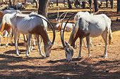 A herd of wild goats scimitar horned oryx graze peacefully on a sunny lawn