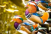 picture of aquatic animal  - Close up male mandarin duck  - JPG