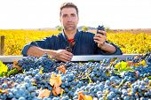 Mediterranean vineyard harvest farmer farming cabernet sauvignon grape field in Spain