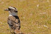 image of kookaburra  - a young close - JPG