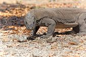 foto of komodo dragon  - Komodo Dragon walking in the wild on Komodo Island - JPG