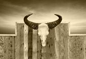 picture of bestiality  - Skull cow front view hung on wooden wall - JPG