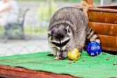 stock photo of raccoon  - Ridiculous raccoon in Moscow Zoo - JPG