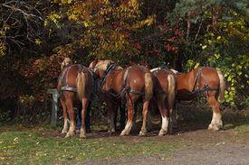 foto of hayride  - Four Belgian draft horse backs ready for the Hayrides - JPG