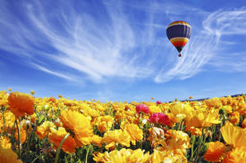 stock photo of spring-weather  - The huge field of white and orange buttercups  - JPG