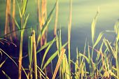 Reeds Against Water. Nature Background.