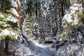 stock photo of sequoia-trees  - Giants Sequoia Grove in the Mariposa area of Yosemite. Snowy trees view and beautiful view ** Note: Shallow depth of field - JPG