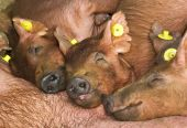 stock photo of farrow  - fed piglets sleeping beside sows close up - JPG
