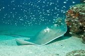 picture of stingray  - Southern Stingray  - JPG