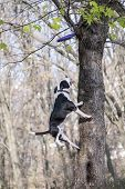 image of american staffordshire terrier  - American Staffordshire Terrier jump to catch a toy - JPG